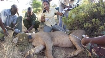 team collaring the lion Lguret