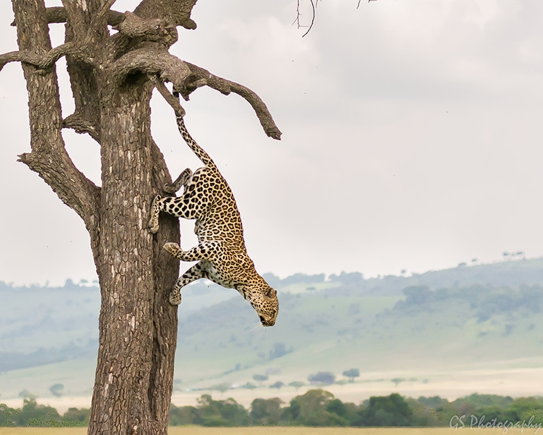 leopard hoping down from tree