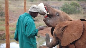 elephant keeper training 2 young elephants