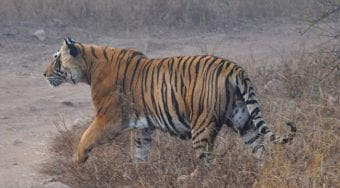 Bengal tiger in India