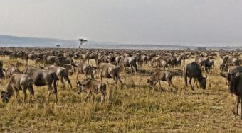 Wild beest migrating across the Serengeti into the fragrant grasslands of Kenya