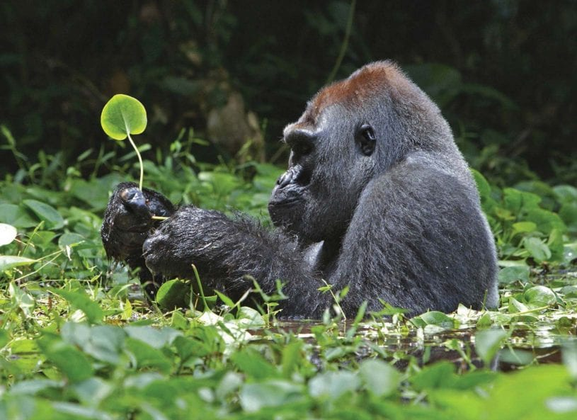 Gorilla eating grass at ​Parc Nacional des Volcans