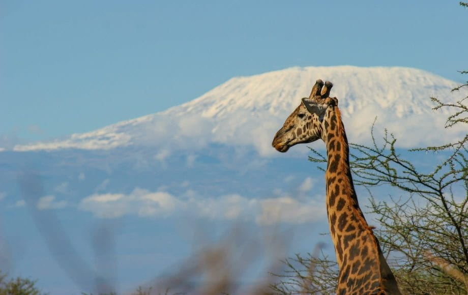 Wild giraffe looking out at Chyulu Hills