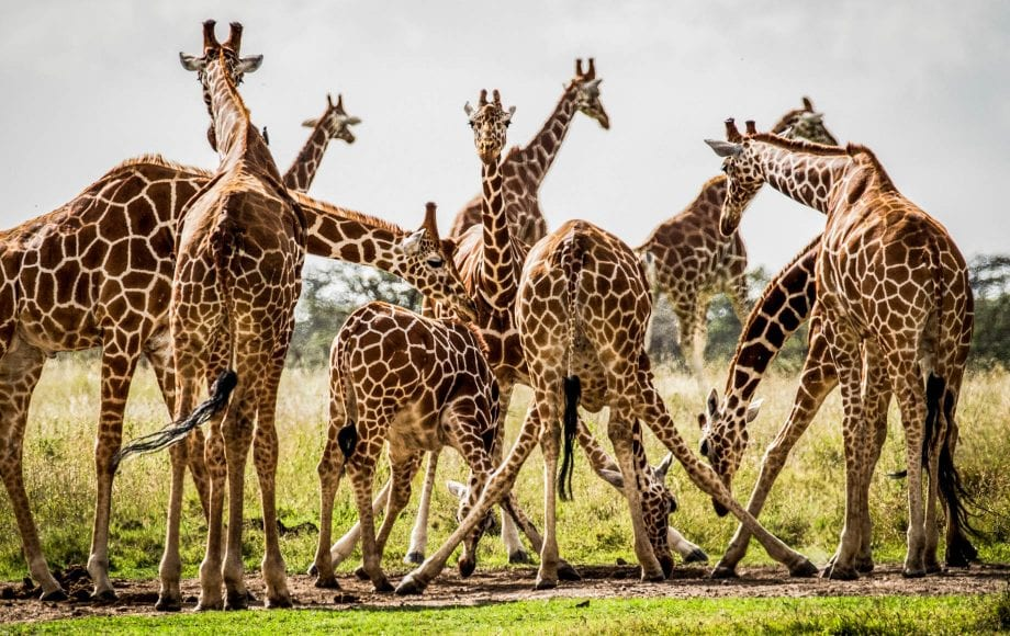 Group of Giraffes Laikipia Plateau