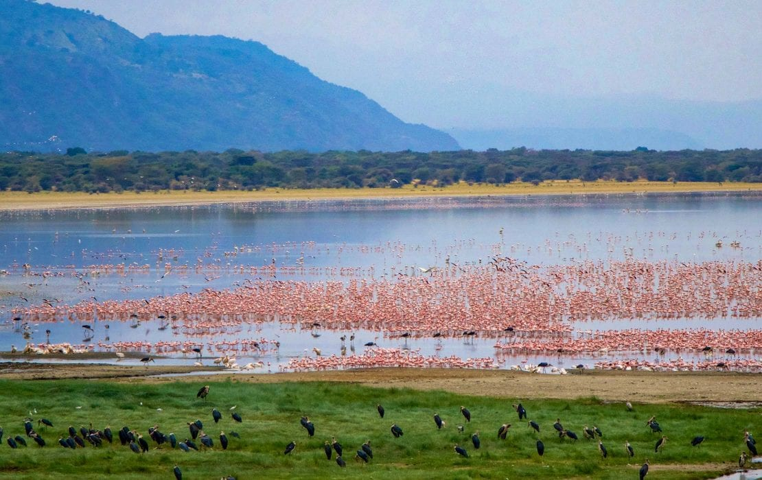 Lake Manyara itself is the main attraction of the Park, and attracts a variety of waterbirds, including huge flocks of pink flamingos as well as pelicans, storks and cormorants.