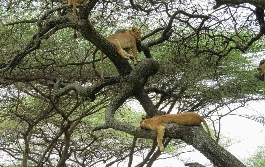 Leopards relaxing on tree branch