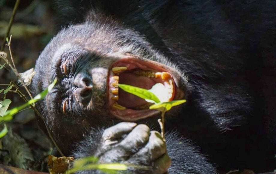 A screaming gorilla at Mahale Mountains National Park
