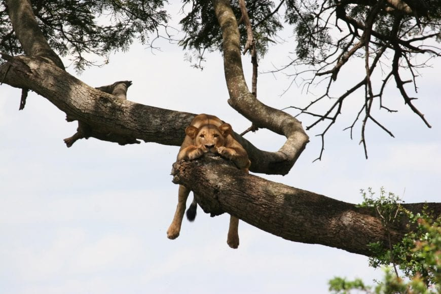 An African Lion is relaxing on a tree branch