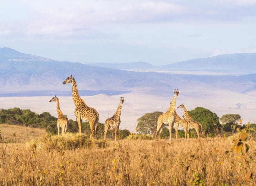 Giraffes at Ngorongoro Conservation Area