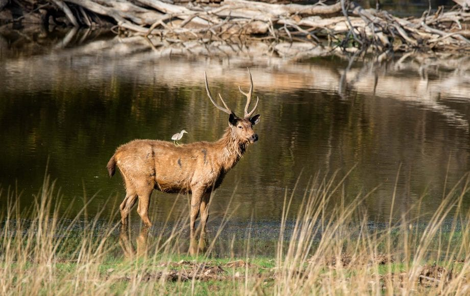 Bird sitting on a deer peacefully at Ranthambore National Park