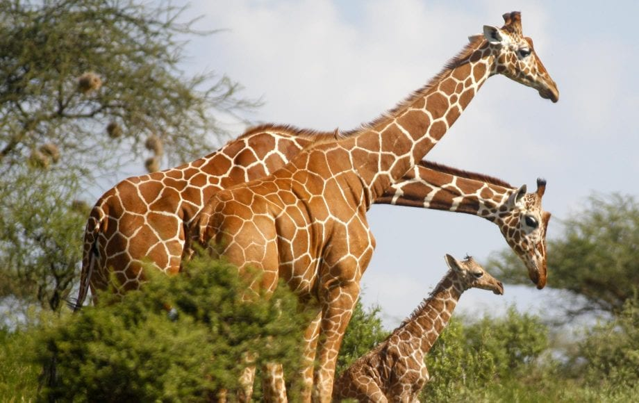 Giraffes at Samburu National Reserve