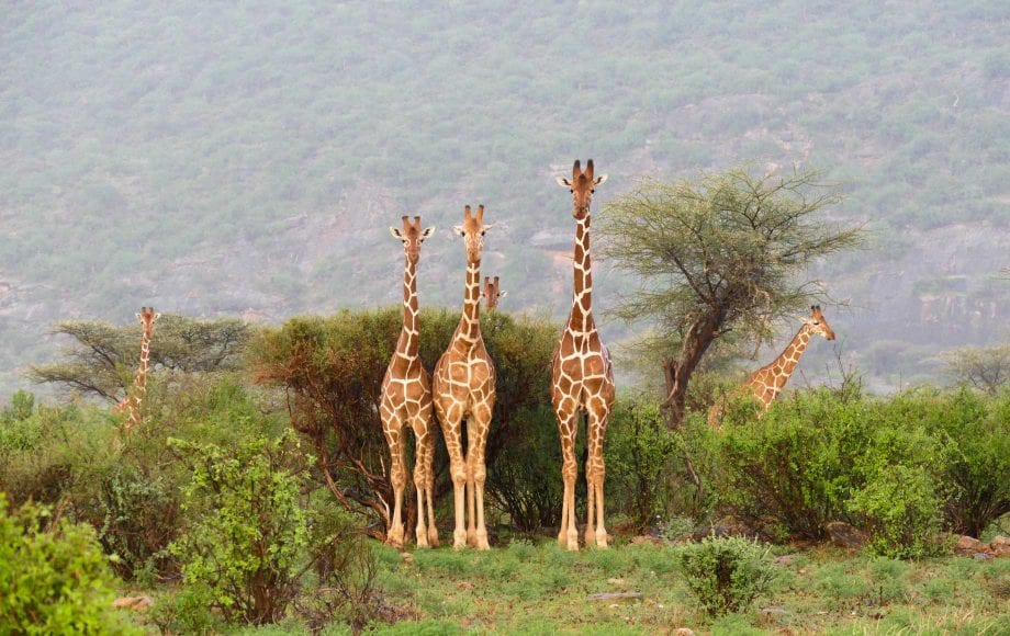 Giraffes at Samburu National Reserve Park