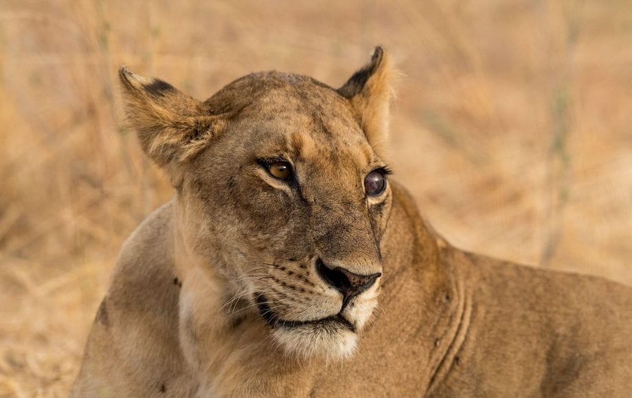lion on a Selous and Ruha Safari Camps