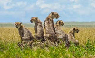 A pack of Cheetah on Safari
